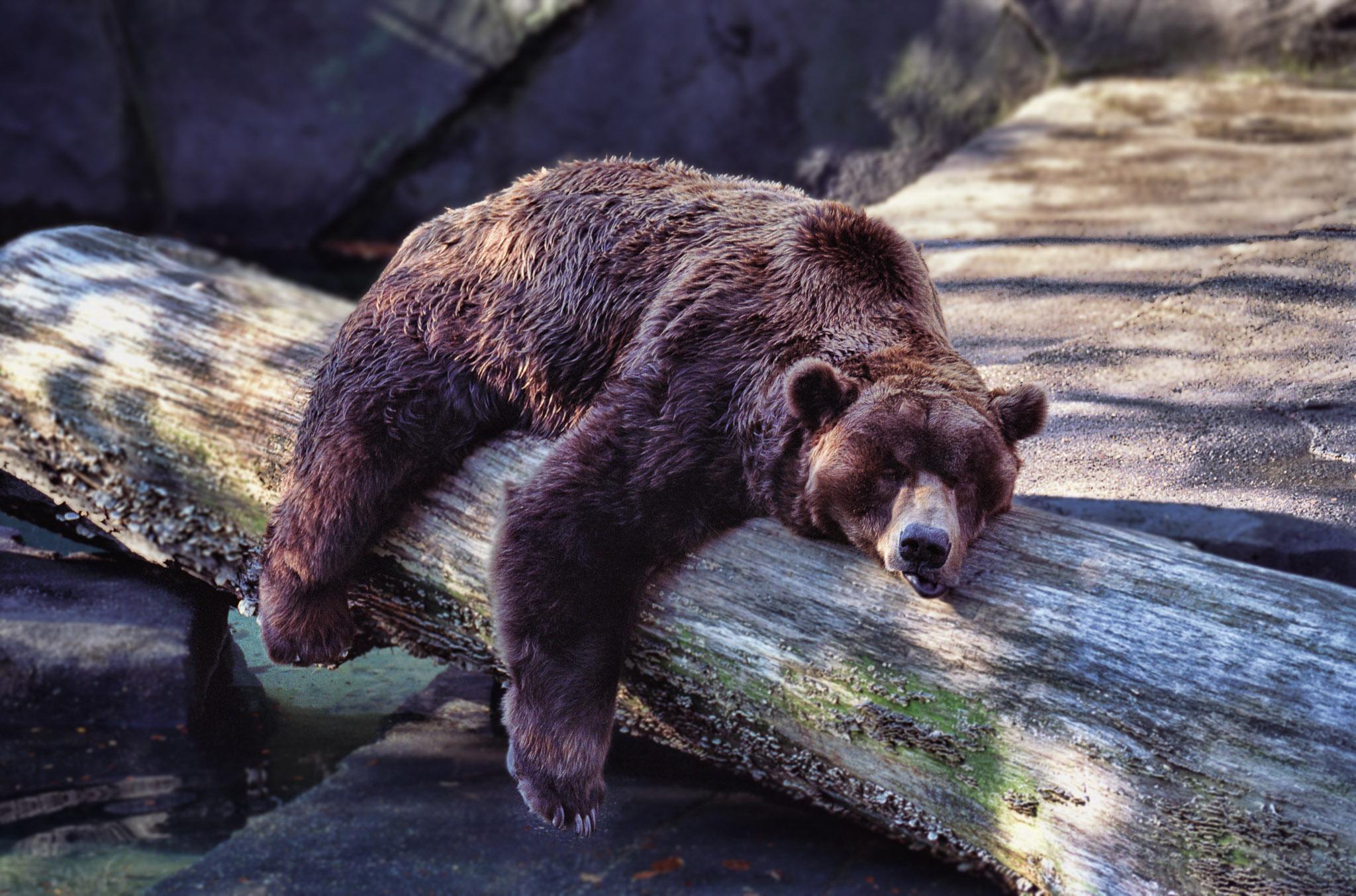 Des chercheurs américains, qui travaillent sur les gènes de l'hibernation, estiment que certains animaux détiennent le secret pour lutter contre l'obésité. Les ours et des écureuils possèderaient 360 éléments génétiques potentiels qui pourraient jouer un rôle dans la régulation de l'hibernation et de l'obésité.