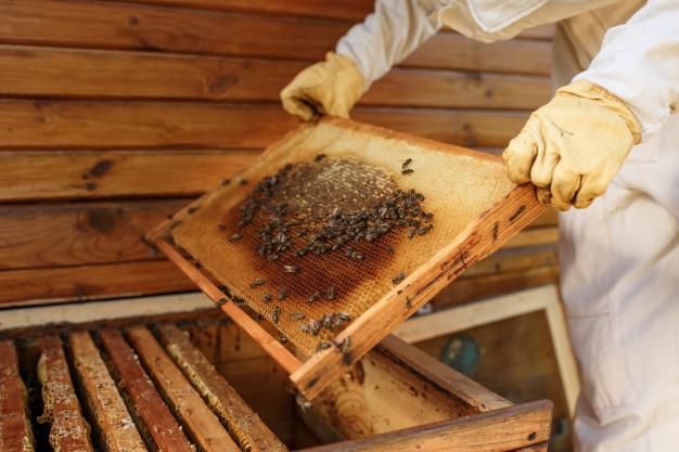 Selon une équipe de chercheurs de Marseille, la consommation de propolis brune produite par les abeilles limiterait l'obésité et les désordres métaboliques associés. Ces résultats ont été publiés dans la revue scientifique Nutrition moléculaire et recherche alimentaire.