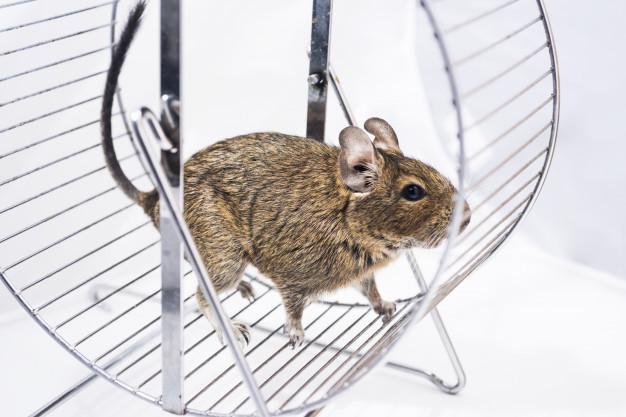 Des chercheurs américains dévoilent qu'en désactivant le gène Prkar2a situé dans une région précise du cerveau des souris, leur plaisir de manger est réduit et leur envie de faire de l'exercice physique augmente. Une piste pour traiter l'obésité ?